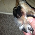 Help for a Torn Paw Pad- a Pack Mom Question