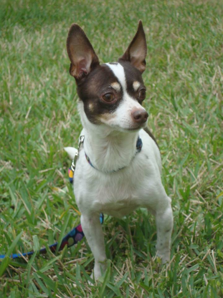 rat terrier mixed with chihuahua pet expert in pet wellness lifestyle 576